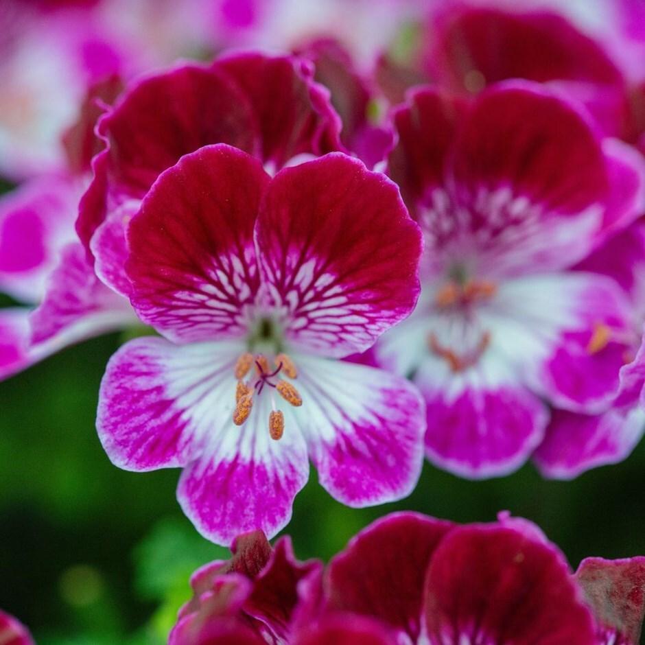 pelargonium 'Tip Top Duet'