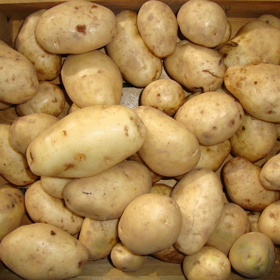 potato - maincrop, Scottish basic seed potato