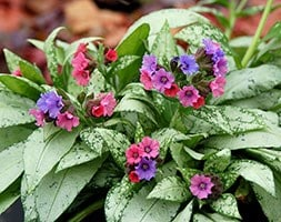 lungwort Silver Bouquet