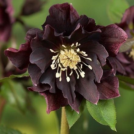 Helleborus × hybridus Double Ellen Purple