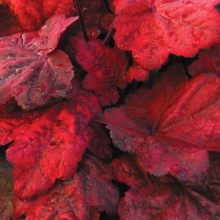 Heuchera Autumn Leaves (PBR)