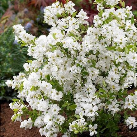 Exochorda × macrantha Niagara (PBR)