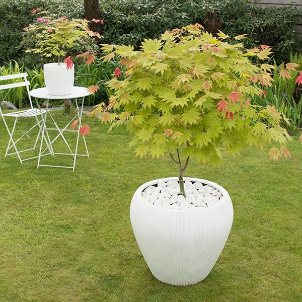 Buy Maple Acer Shirasawanum Moonrise Munn 001 Pbr 2999