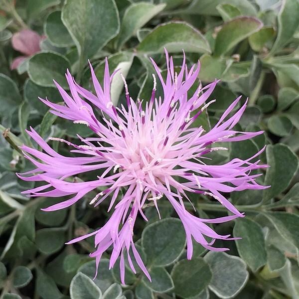 Centaurea bella