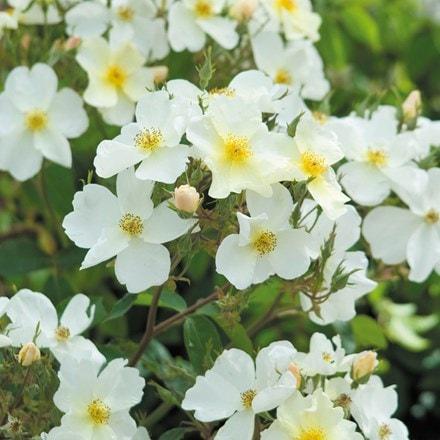Rosa Kew Gardens ('Ausfence') (PBR)