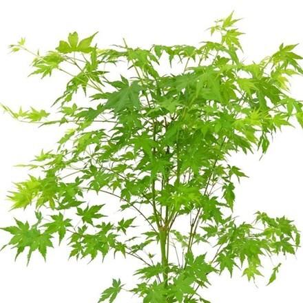 Acer palmatum Going Green ('Sonkootgre') (PBR)