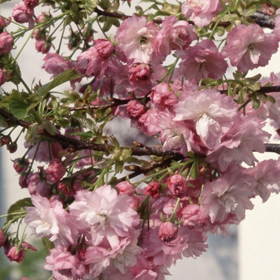 dwarf Japanese flowering cherry