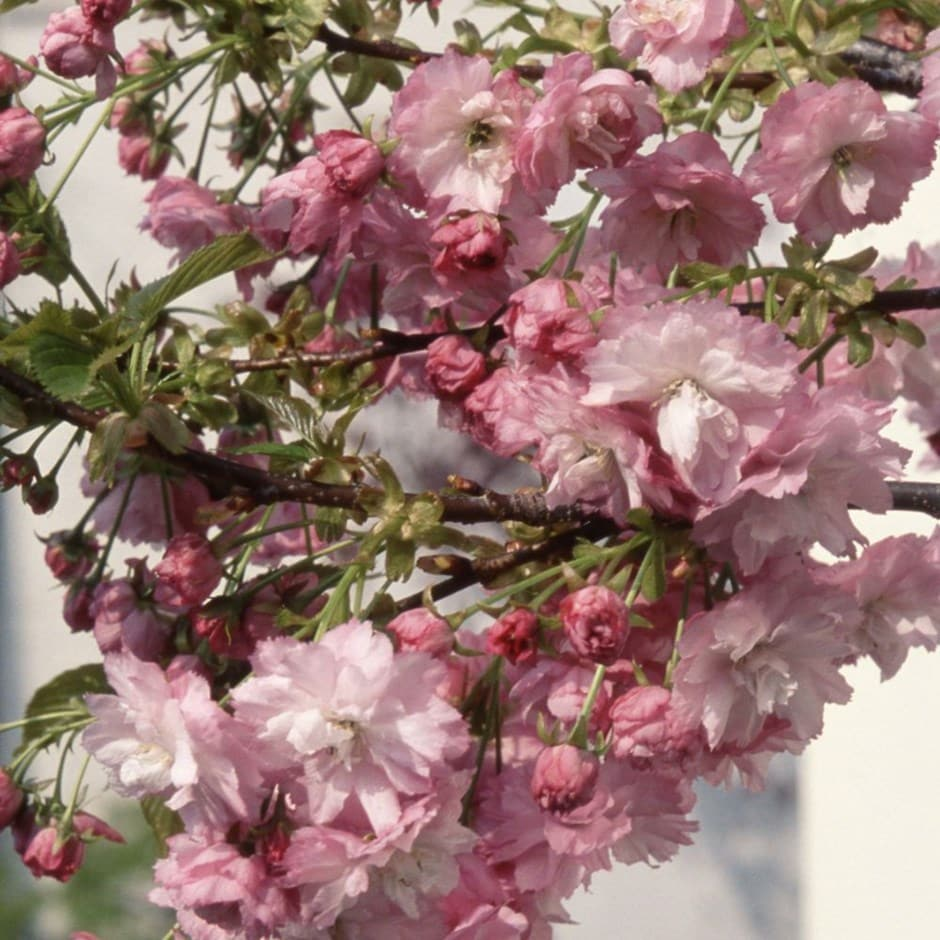 Buy Dwarf Japanese Flowering Cherry Prunus Little Pink Perfection