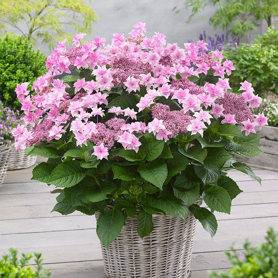 buy hydrangea syn doppio rosa hydrangea macrophylla. Black Bedroom Furniture Sets. Home Design Ideas
