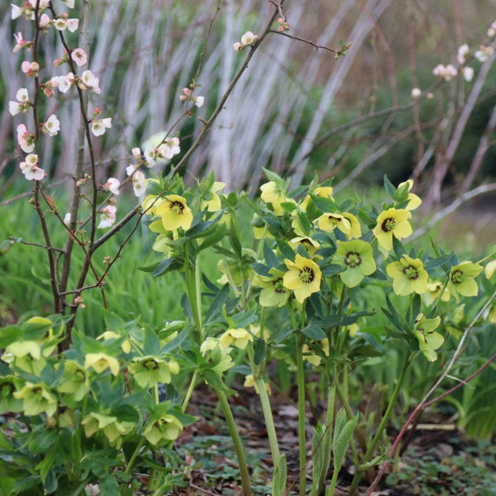 <i>Helleborus</i> × <i>hybridus</i> Harvington yellow with dark eye
