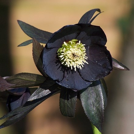 Helleborus × hybridus Harvington Black