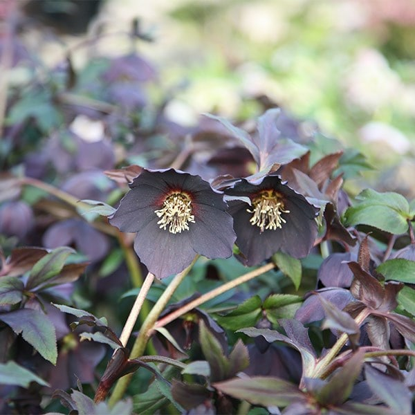 <i>Helleborus</i> × <i>hybridus</i> Harvington black