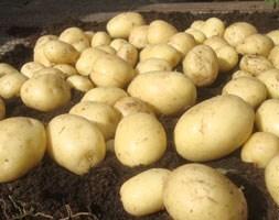 potato Casablanca (PBR)