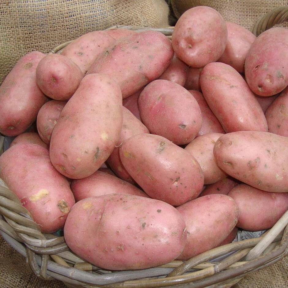 potato - maincrop Scottish basic seed potato