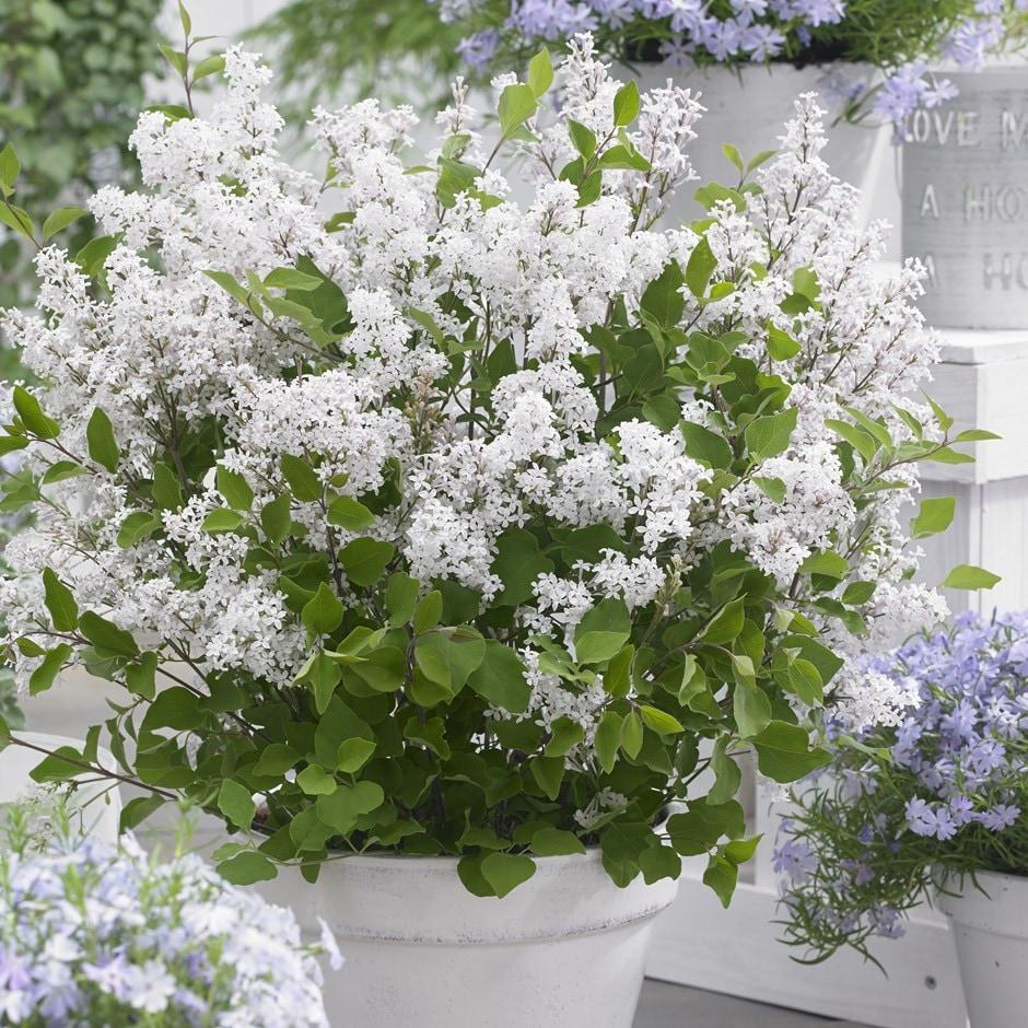 repeat flowering dwarf lilac
