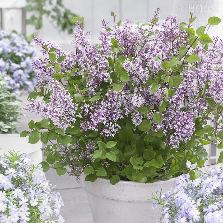 repeat flowering dwarf lilac