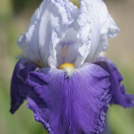 Iris Arpege