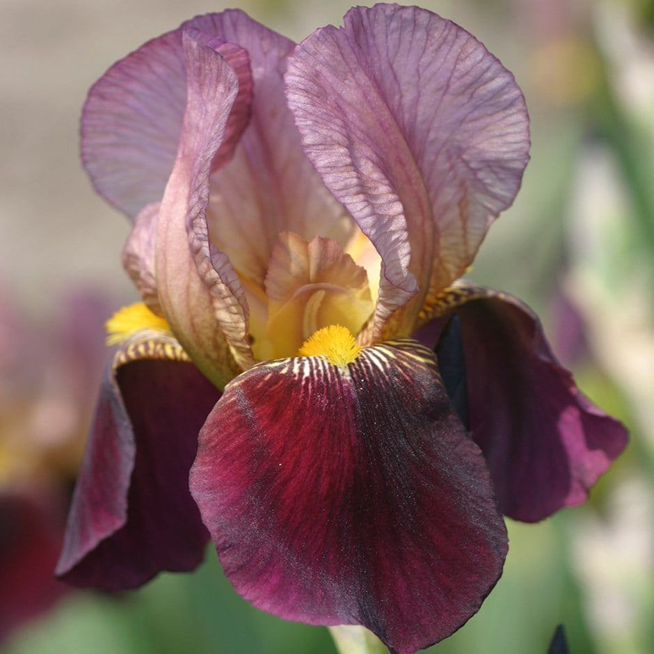 buy bearded iris iris indian chief 12 99 delivery by crocus