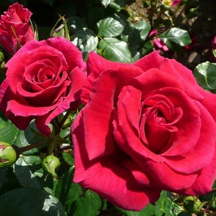 Rosa Lovestruck ('Dicommatac') (PBR)