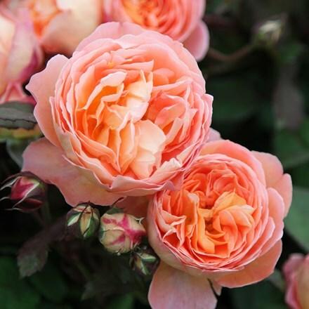 Rosa Lady Emma Hamilton ('Ausbrother') (PBR)