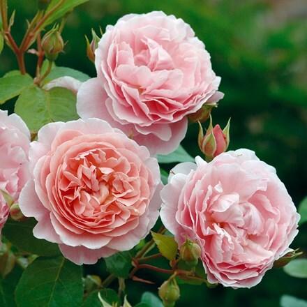 Rosa Strawberry Hill ('Ausrimini') (PBR)