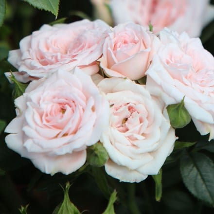 Rosa A Whiter Shade of Pale ('Peafanfare') (PBR)