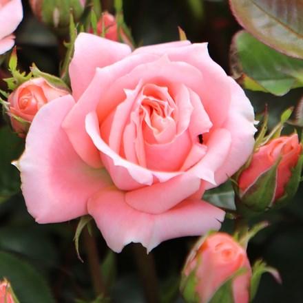 Rosa Flower Power ('Frycassia') (PBR)