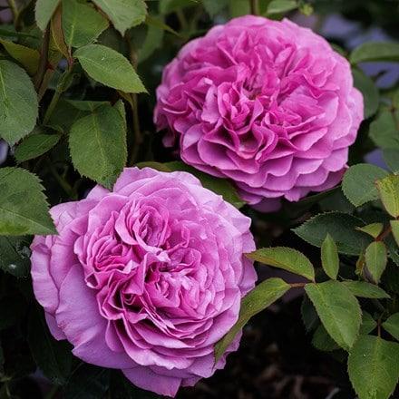Rosa Lavender Ice ('Tan04249') (PBR)