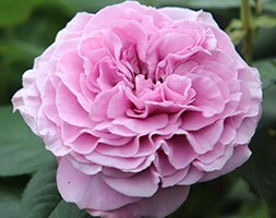 rose Lavender Ice (floribunda)