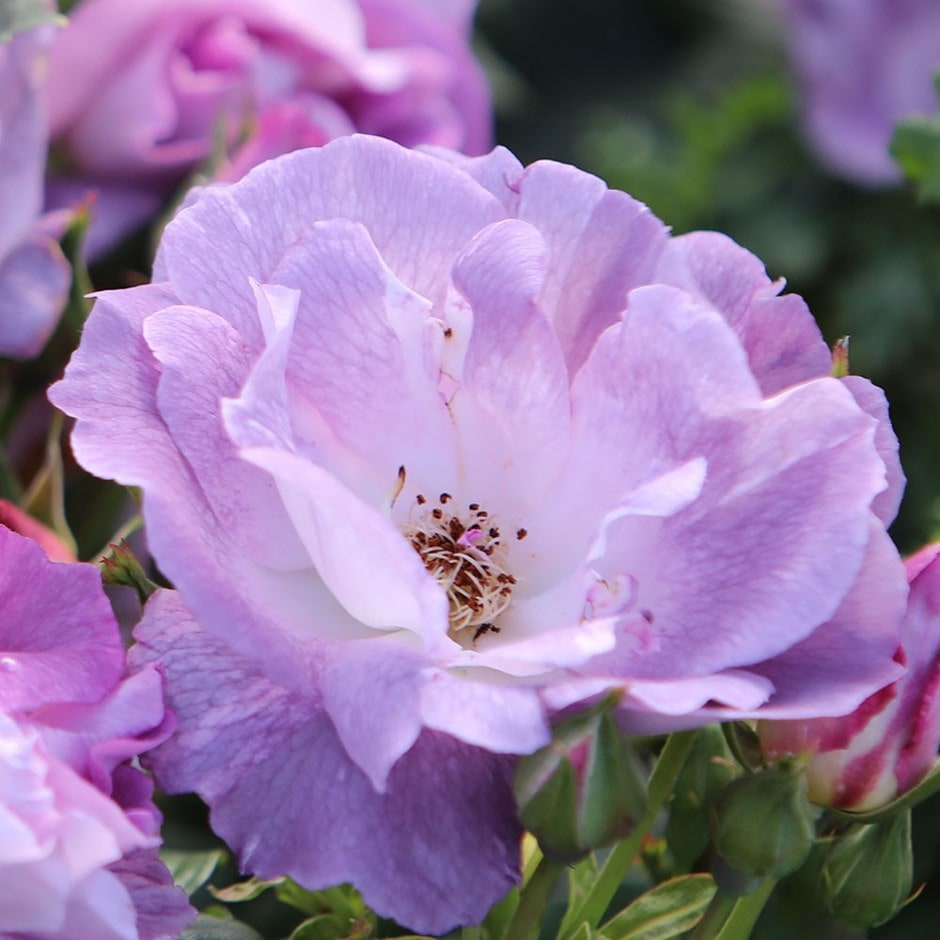 Buy Rose Blue For You Floribunda Rosa Blue For You