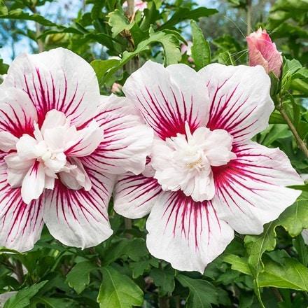 Hibiscus syriacus Starburst Chiffon ('Rwoods6') (PBR)