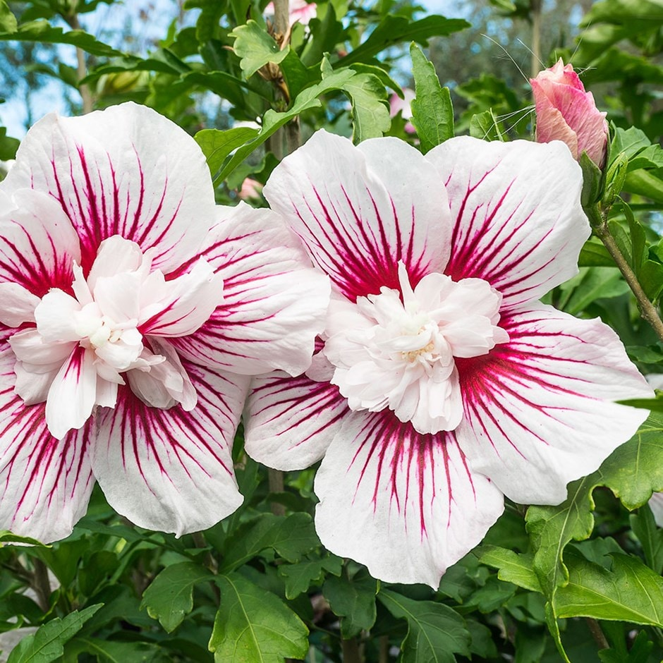 buy tree hollyhock hibiscus syriacus 39 starburst chiffon 39 rwoods6 39 pbr 39 delivery by waitrose. Black Bedroom Furniture Sets. Home Design Ideas