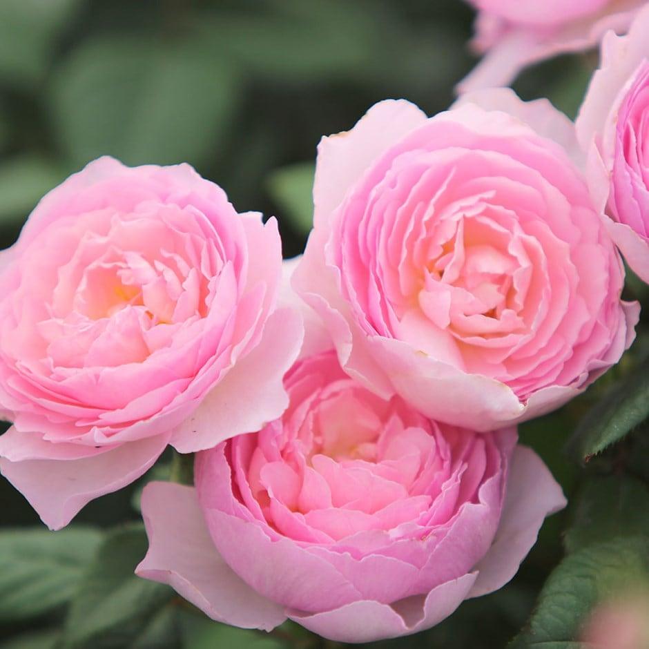 rose The Ancient Mariner (shrub)
