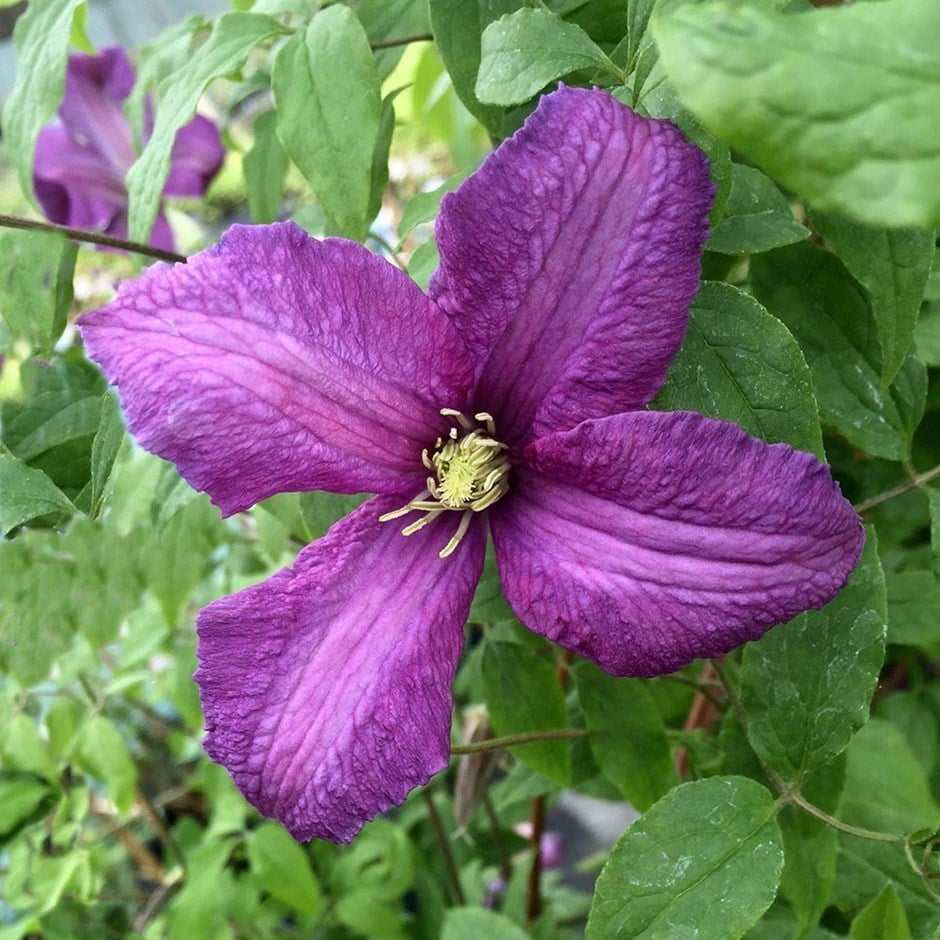 Buy clematis group 3 clematis viticella valour - Clematis viticella ...