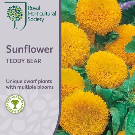 Helianthus annuus Teddy Bear