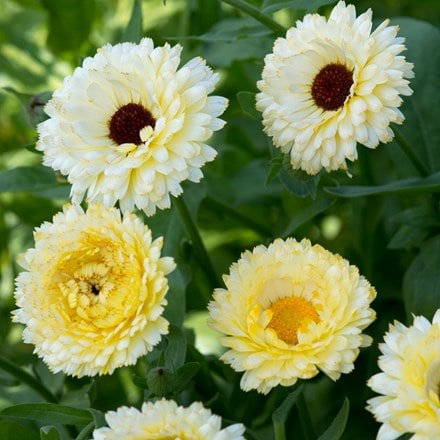 Calendula officinalis Snow Princess