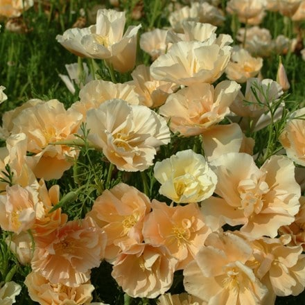 Eschscholzia californica Peach Sorbet