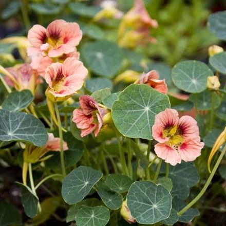 Tropaeolum majus Ladybird Rose