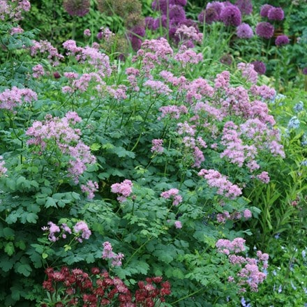 Thalictrum and Astrantia plant combination