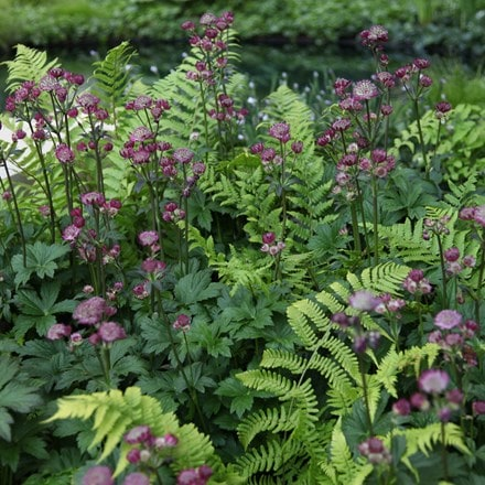 Astrantia and Dryopteris plant combination