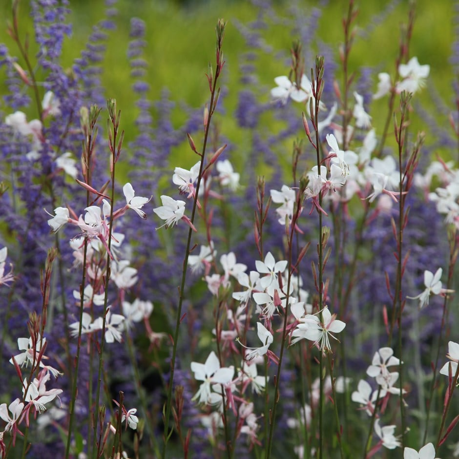 Buy Gaura Amp Perovskia Plant Combination Gaura And