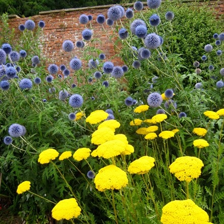 Echinops and Achillea plant combination