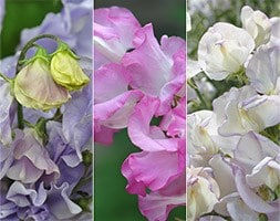 Highly scented sweet pea plant collection
