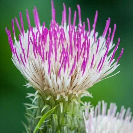 Cirsium heterophyllum Pink Blush