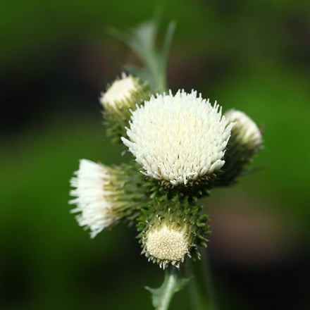 Cirsium rivulare Frosted Magic ('Lowcir') (PBR)