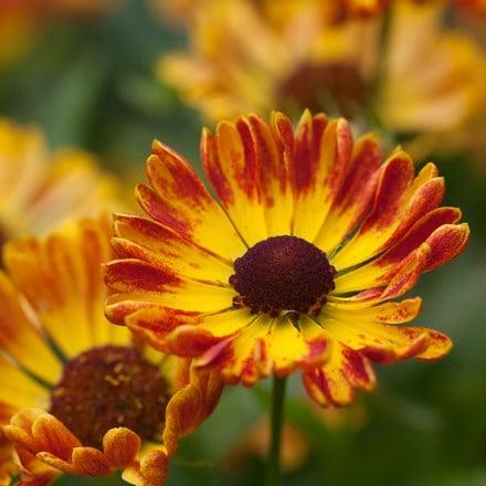 Helenium autumnale Fuego (Mariachi Series) (PBR)
