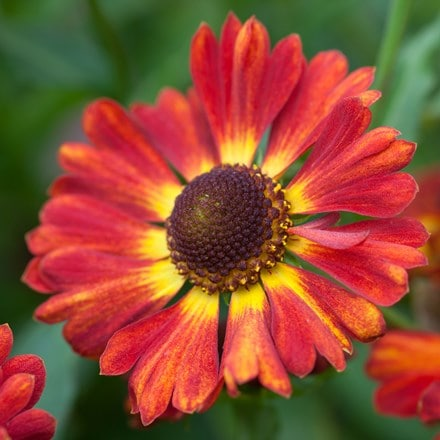 Helenium autumnale Salsa (Mariachi Series) (PBR)