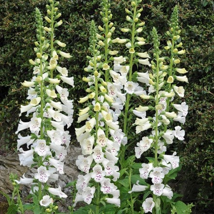Digitalis purpurea Dalmatian White