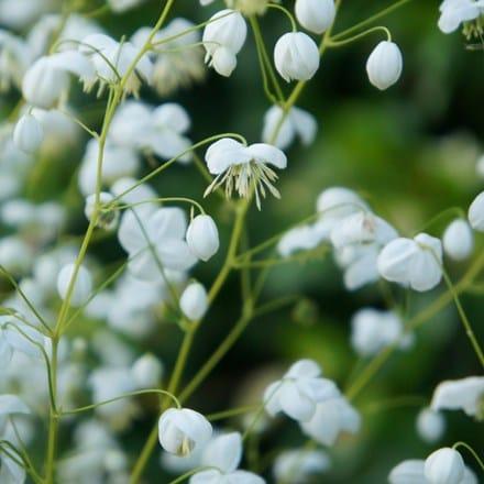 Thalictrum delavayi Splendide White ('Fr21034') (PBR)