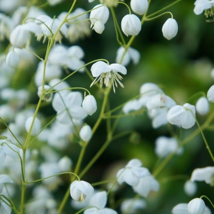 Thalictrum Splendide White ('Fr21034') (PBR)